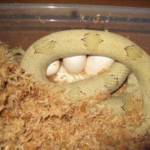 ペコスの産卵(7)。