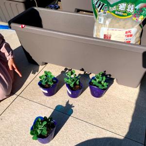 グリーンピースの栽培を開始しました(2021年2月4日)