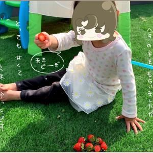 いちご(よつぼし)の栽培(2021年4月29日)