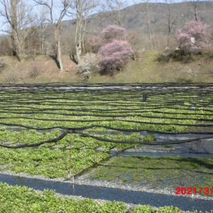 【大王わさび農場】見どころ〜アクセス方法、所要時間/長野県安曇野市
