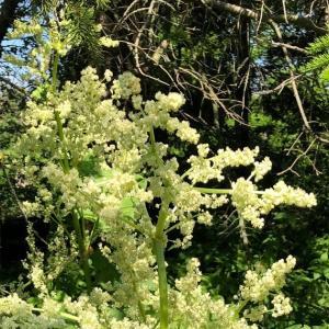 ルバーブの花咲く。恒例の生グリーンピースと旬の人参と新じゃがのスープ。