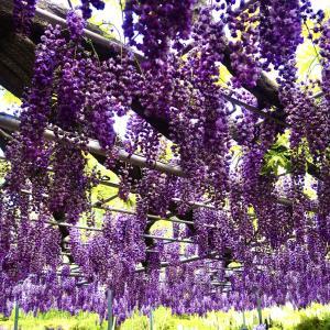 【日帰り旅行記】あしかがフラワーパーク名物藤の花を見てきました