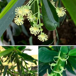 クロトン雄花雌花が同時に咲く