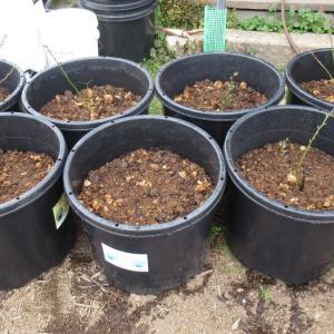 ポットに苗を植えています
