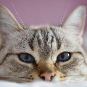 【猫がまばたきをゆっくりするのはなぜ?】愛おしいその理由を解説!