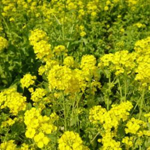 道の駅笠岡ベイファームに咲く1000本の菜の花たち(旅その2)