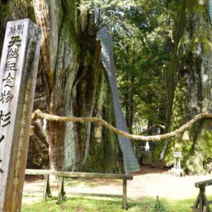 美空ひばりさんも願いをかけた日本最大の杉の木(旅その3前編)