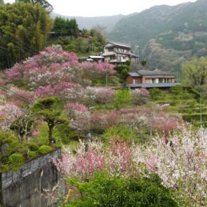 高知で訪れた花桃が咲き誇る美しい村と珍しい沈下橋(旅その4後編)