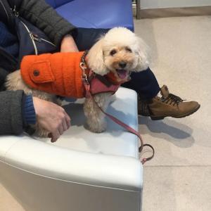 愛犬9歳にして3回目の手術を決意。