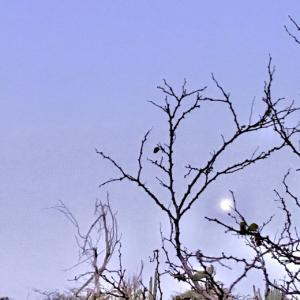 「祝福の黄昏月と天気雨」と天使の羽根?~♡~05.26