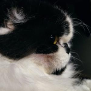 猫の歯肉口内炎と抜歯手術【その⑦/完】頬が壊死してほっぺたに穴が開きました