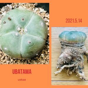 ロホホラ属 ウバタマの植替え