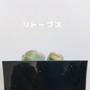 リトープス サボテン 胡蝶蘭の空中栽培