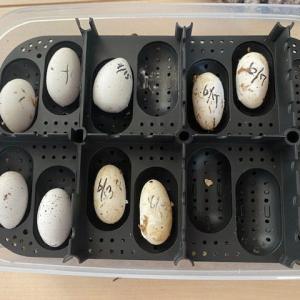 レオパ 産卵いっぱい