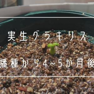 パキポディウム・グラキリス実生から4~5か月後の成長記録
