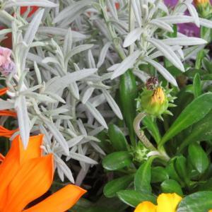 花あぶとオキナグサ