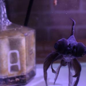 お祭りの金魚「出目金」5年目と酸素のこと