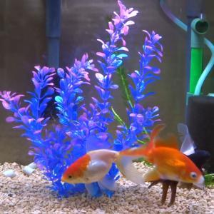 ふと思った事「水換えすると金魚は活性する?」について