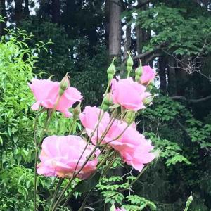 2オーナーのバラ