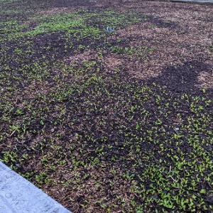 春なのにクラピアの芽吹きが遅い新芽が出ない