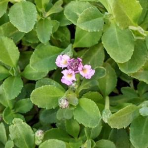 ピンク花が咲いた蕾もたくさんのクラピアK3