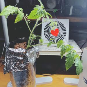 水耕栽培 ミニトマト 6月②