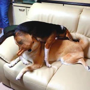 ビーグル妹のちょっかいに耐える柴犬