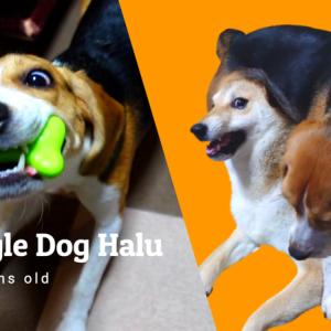 【ビーグル犬ハル】柴犬姉さんの雷が落ちるまでのカウントダウン!!