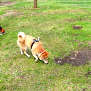 柴犬カメラウーマン!
