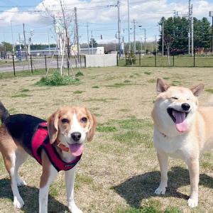 いつでもどこでも仲良しな柴犬とビーグルの姉妹♪