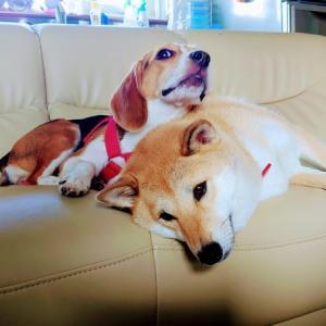 もうすぐ1歳の「ビーグル犬ハル」は柴犬姉ちゃんが大好きです♪