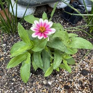 花壇の様子・ジニアが咲き始めました