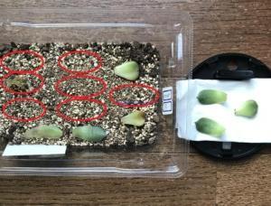 多肉植物を「葉挿し」で増やす!(パート2)