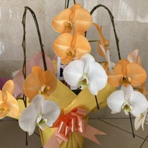 オレンジ色の胡蝶蘭