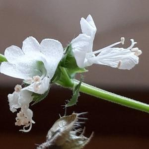バジルの花、ブロッコリー、ヒマワリの花