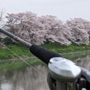 ★ 元荒川の桜のもとでナマズを求めてキャスト !!