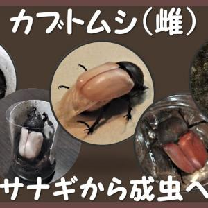 カブトムシ(雌)蛹室から成虫へ