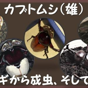 カブトムシ(雄)蛹から成虫へ、そして交尾