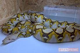 アミメニシキヘビと安美錦