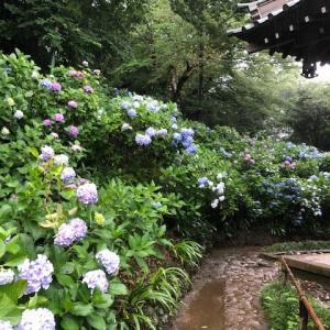 休日の過ごし方  紫陽花を見にウォーキング!