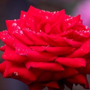 雨上がりのバラ2