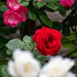 雨上がりのバラ3