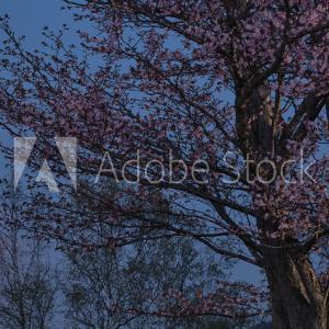 旭山記念公園の夜桜とピンクムーン