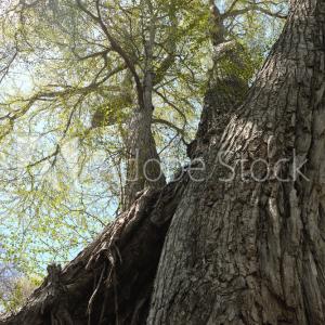 見上げる新緑のカツラの大木・3枚