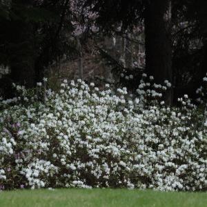 【AS却下】滝野すずらん丘陵公園の白ツツジ