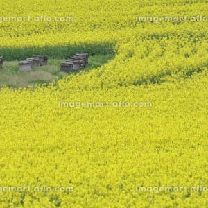 【イメージマート】安平町の菜の花畑・4枚