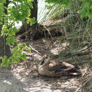 7月下旬:世田谷区・駒沢オリンピック公園周辺をお写んぽ。その弐/4羽の雛とその親ガモの今
