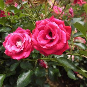 最後のバラと最初の紫陽花!?