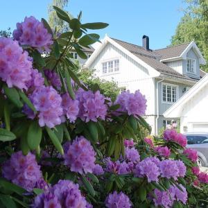 庭の花(石楠花)