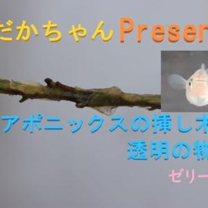 【メダカちゃんpresents】アクアポニックの挿し木に透明の物体・・・?